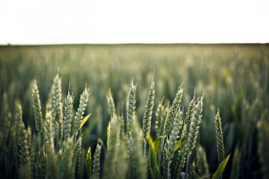 Free Photos: Wheat on field | Backgrounds | Lukas Schweizer