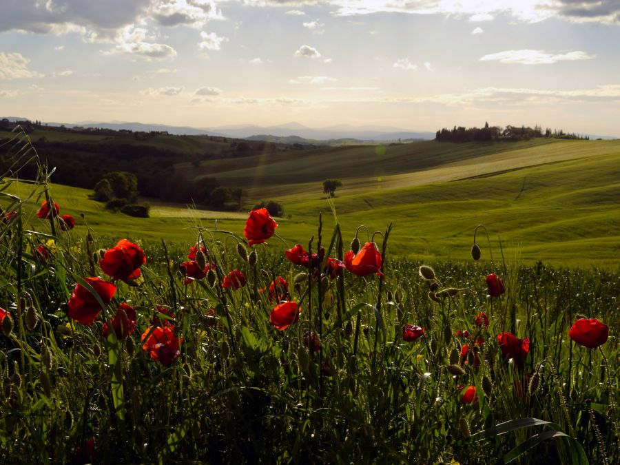 Tuscan Countryside with Poppies
