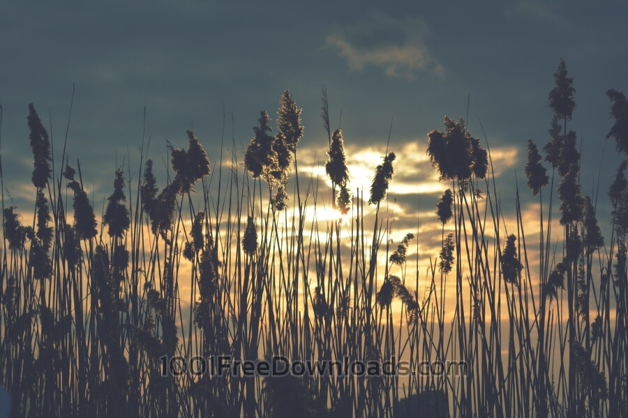 Free Photos: Dry reed in the sunset | Backgrounds