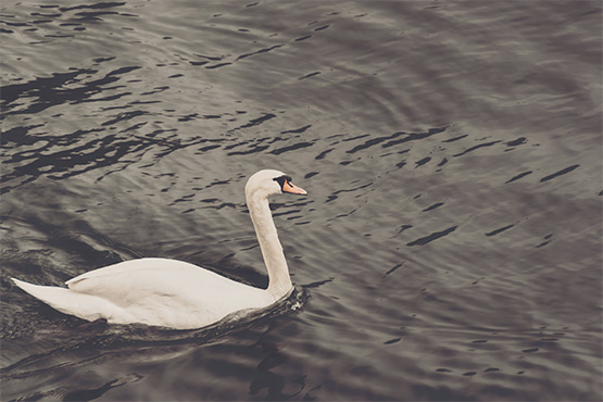 Free Swan on the lake