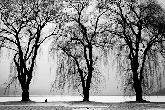 Free Willows by the lake in winter