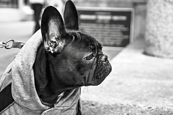 Free French bulldog