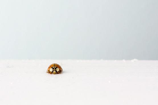 Free Ladybug on ice