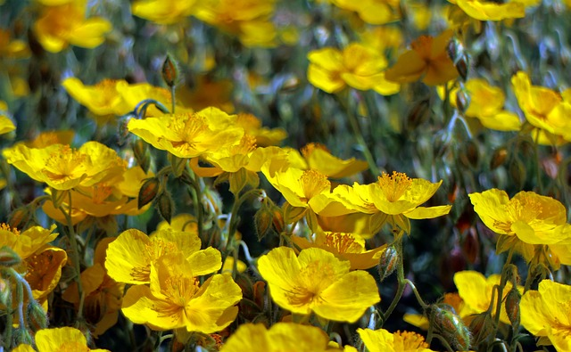Free brown flower wild flower yellow rockrose