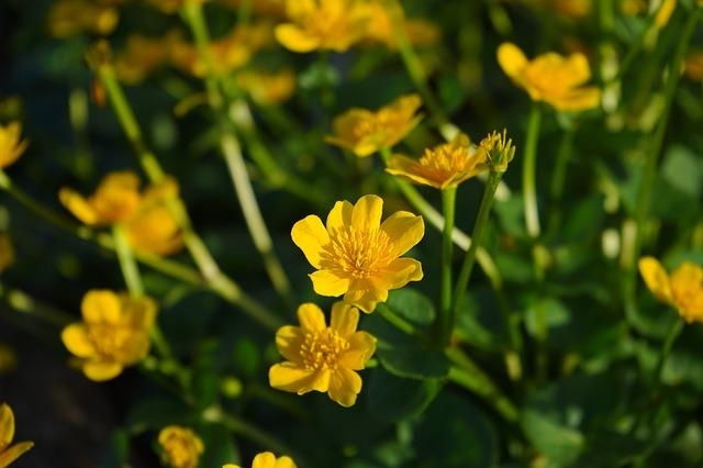 Free caltha palustris flowers yellow hahnenfußgewächs