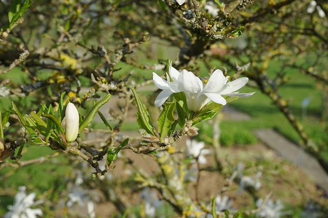 Free flower closed white star magnolie magnolia
