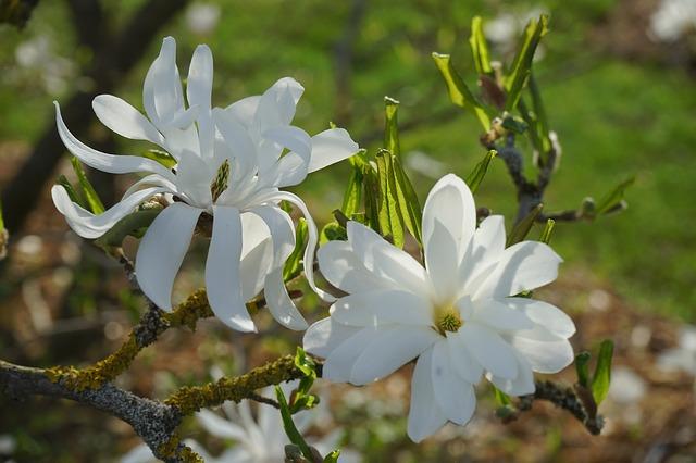 Free star magnolie magnolia flower white