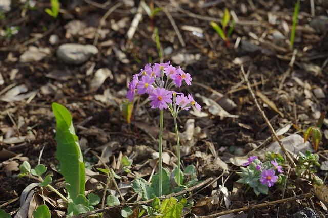Free foliage rich primrose flower plant pink flora