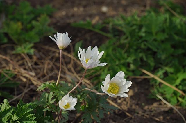 Free forest-translucent poppy flower white
