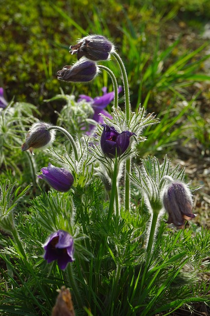 Free common pasque flower flowers violet stalk leaves