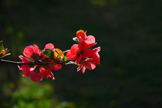Free japanese ornamental quince flowers red red orange