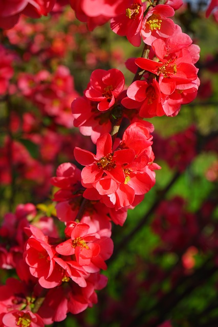 Free japanese ornamental quince flowers branch red