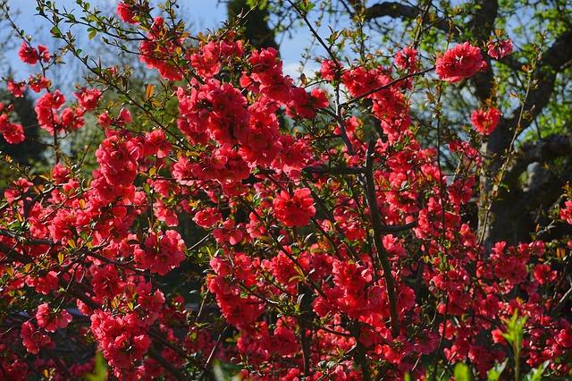 Free japanese ornamental quince bush blütenmeer flowers