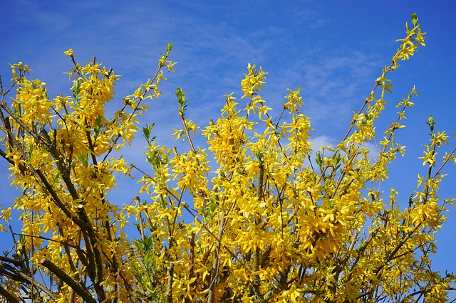 Free forsythia aesthetic branches gold lilac flowers