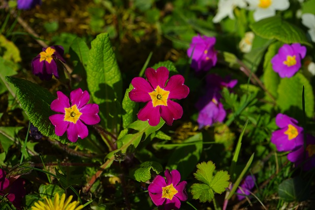 Free primrose flower red purple yellow violet