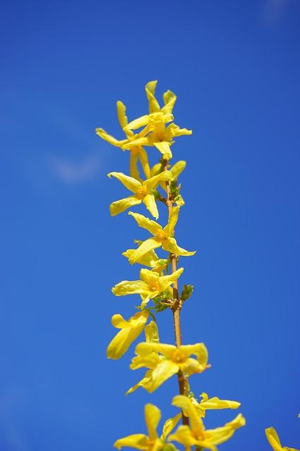 Free forsythia flowers yellow golden yellow spring