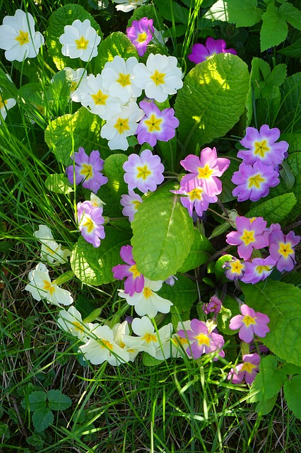 Free primrose flower white colorful mixed color purple