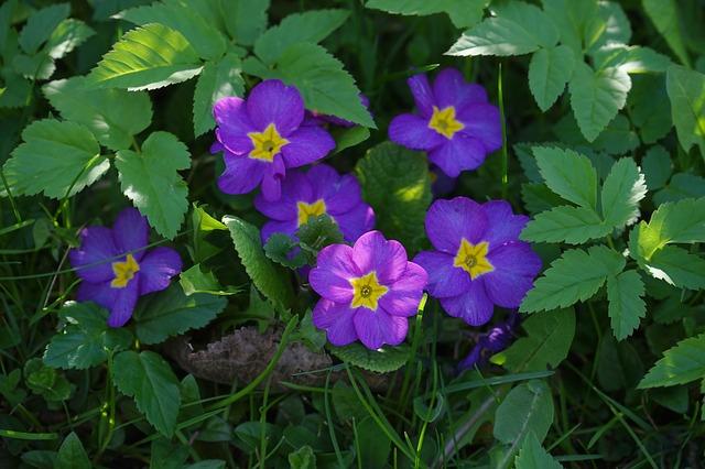 Free primrose flower purple yellow violet beautiful