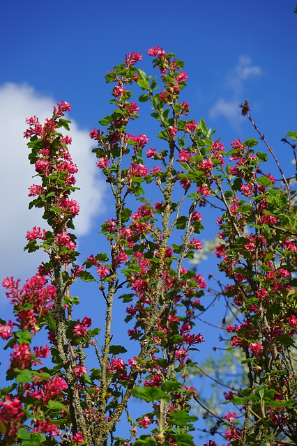 Free blood currant flower red ribes sanguineum currants