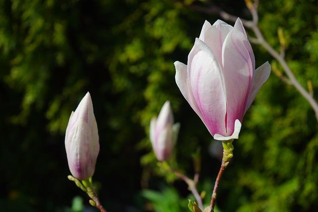 Free tulip magnolia flowers light pink pink blütenmeer