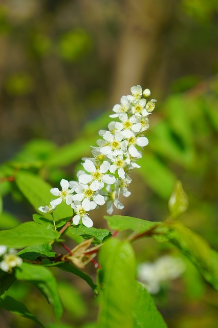Free inflorescence flowers white common bird cherry