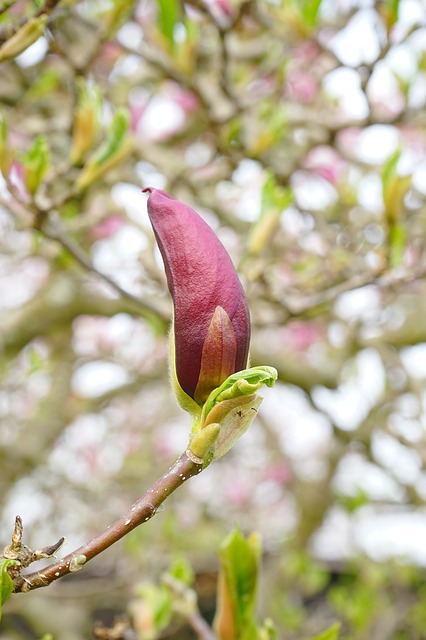 Free magnolia blossom closed magnolia close flower tree