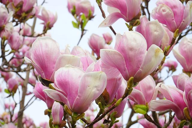 Free tulip magnolia flowers blütenmeer