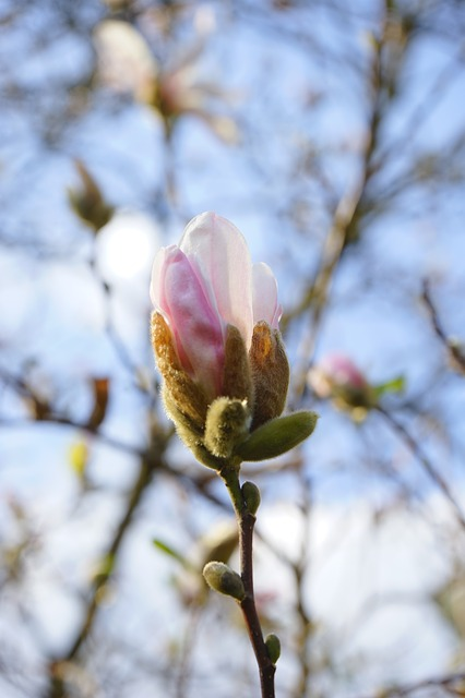 Free summer-magnolia flower white magnolia sieboldii