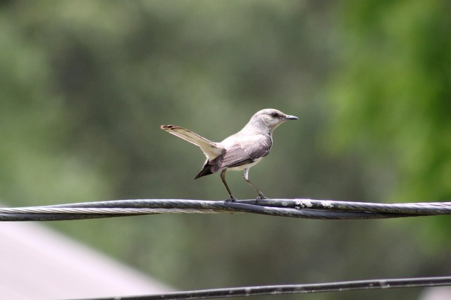 Free bird gray white wings wire sitting