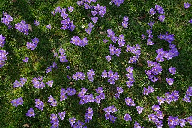 Free crocus flower meadow flowers blütenmeer already
