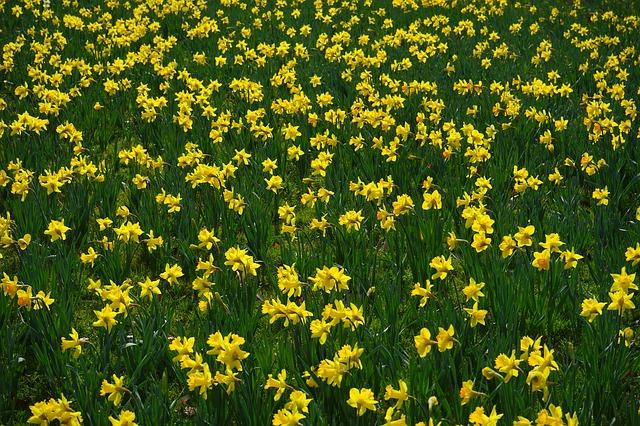 Free narcissus pseudonarcissus daffodil flower