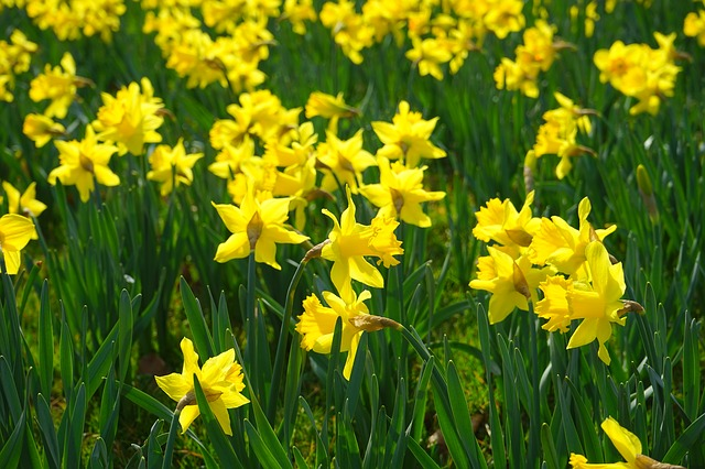 Free narcissus pseudonarcissus daffodil flower yellow
