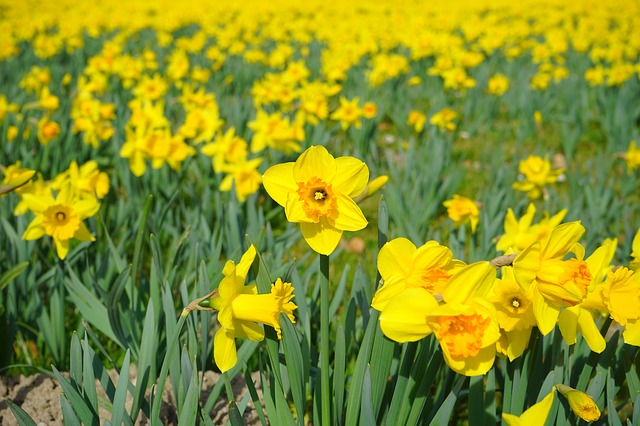 Free daffodil field flowers sea of flowers blütenmeer
