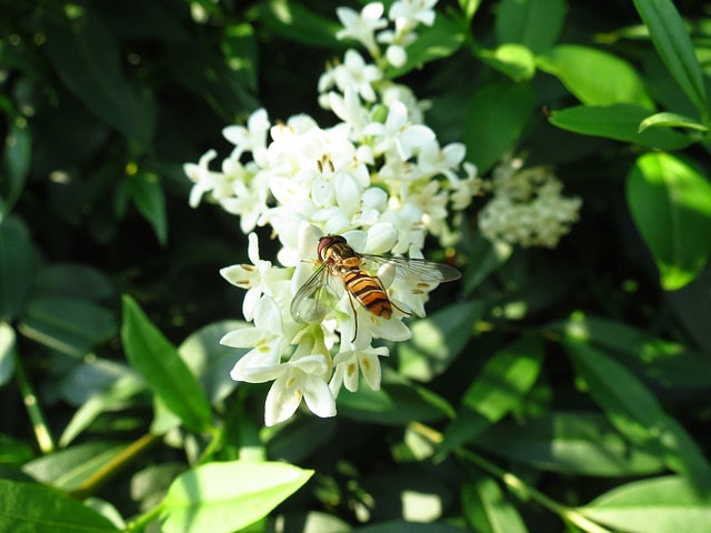 Free hoverfly flower fly insect wildlife macro flower