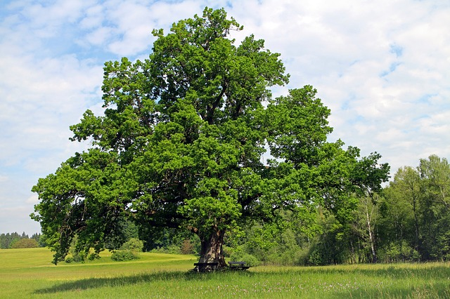 Free oak tree individually nature meadow field click