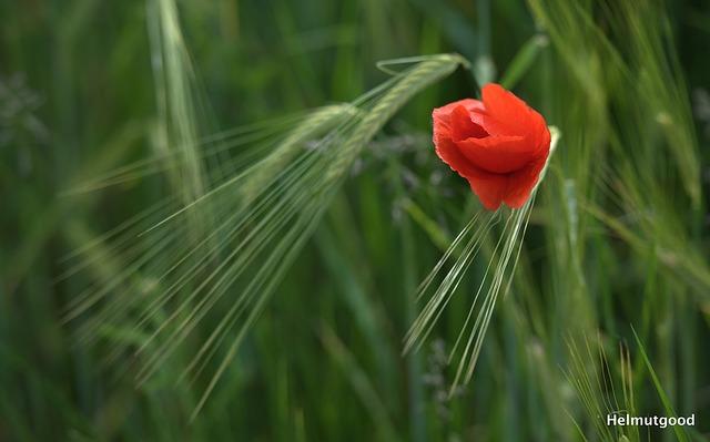 Free poppy flower nature field wildflowers mohngewaechs