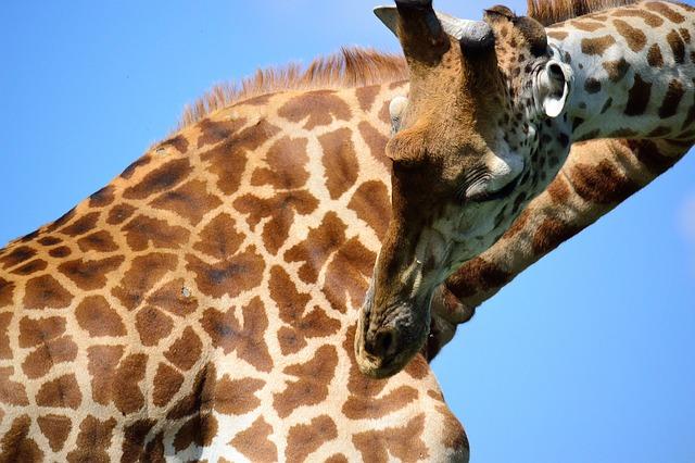 Free giraffe safari africa nairobi national park kenya