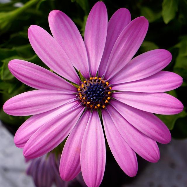 Free pink flower blue center garden plant