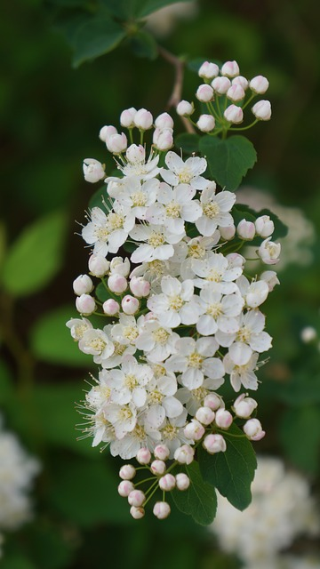 Free Photos: Angervo white blossom buds flowers a shrub | Merja Partanen