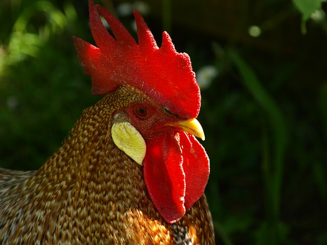 Free hahn cockscomb poultry male fowl comb teeth gockel