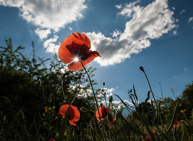 Free poppy plant nature close pollen blossoms field