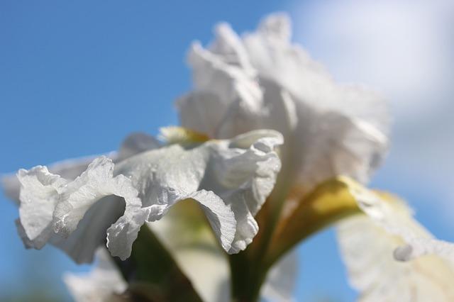 Free flower white iris flower plant white blossom macro