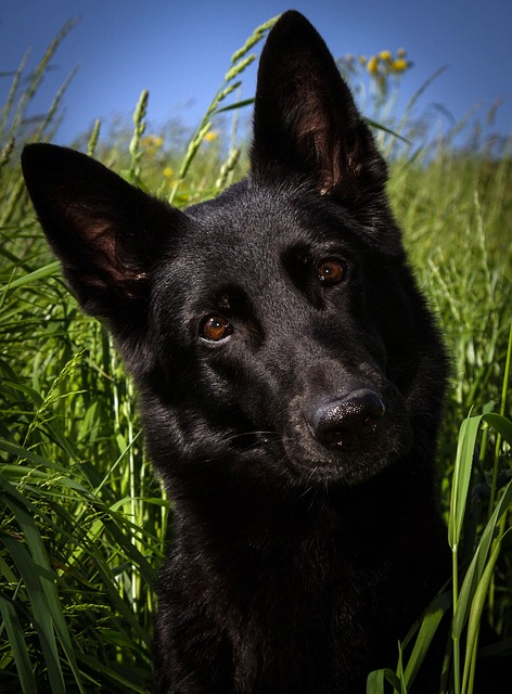 Free dog schäfer dog black german shepherd