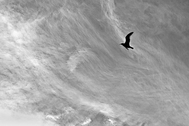 Free flight seagull bird sky monochrome