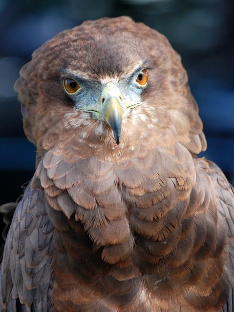 Free eagle raptor bird of prey predator falconry