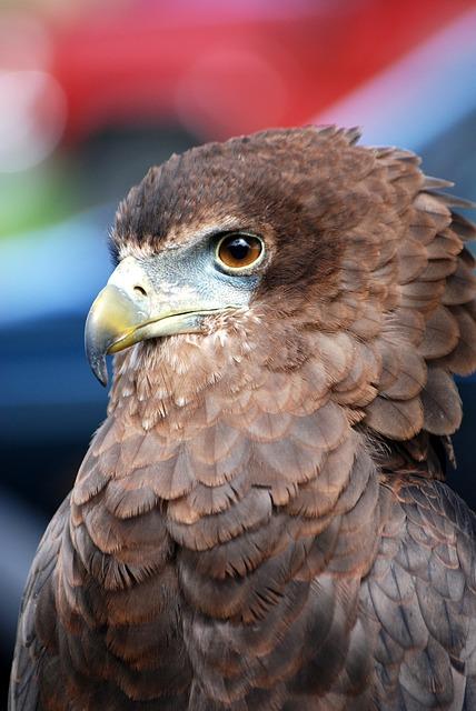Free Photos: Eagle raptor bird of prey predator falconry | Steve Bidmead