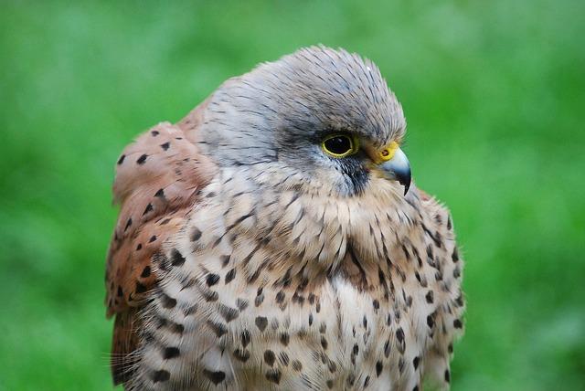 Free               kestrel hawk closeup hunter beak bird of prey