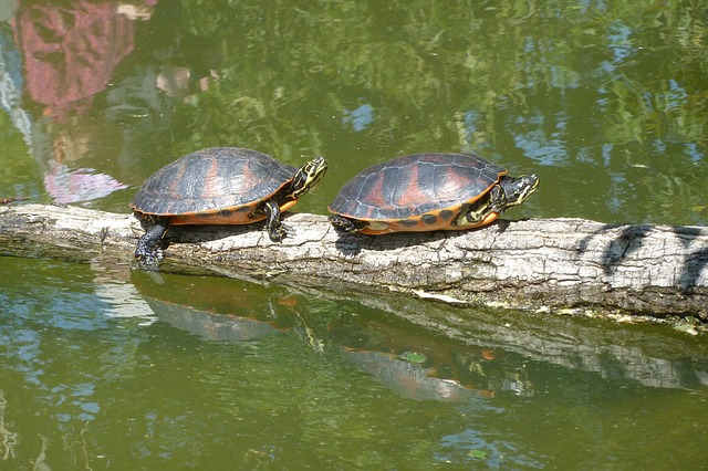 Free turtles sun pond animal reptile