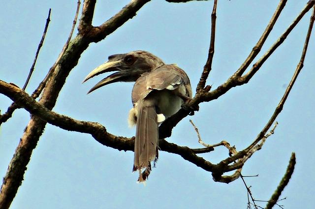 Free indian grey hornbill ocyceros birostris bird