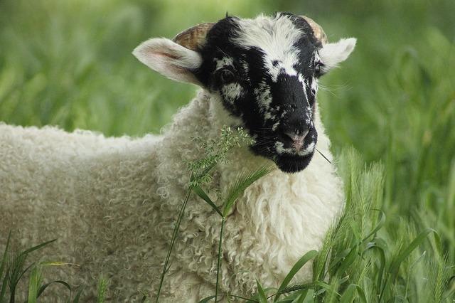 Free sheep lamb cute schäfchen animal wool fur